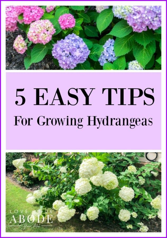 5 Easy Tips For Growing Hydrangeas Love Your Abode Growing Hydrangeas Hydrangea Care Hydrangea Garden