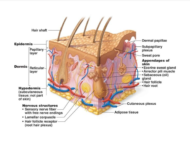 SKIN DIAGRAM | Histology  Skin | Skin structure