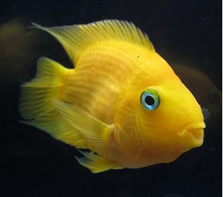 Yellow Parrot Fish for Sale @ Aquasovi.in Online Buy & Home Delivery   Description : These are freshwater fishes and are very attractive and popular owing to their beauty. They are developed artificially and do not exist in wild they are called part because their nose appears like parrot beak.