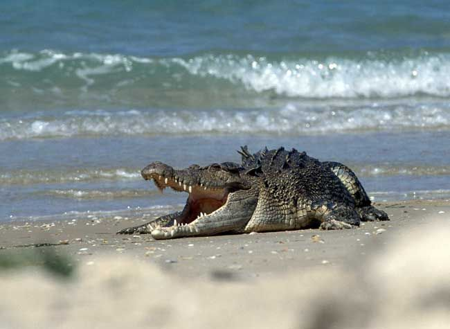 crocodiles in australia | The Australian saltwater crocodiles are strong swimmers and have