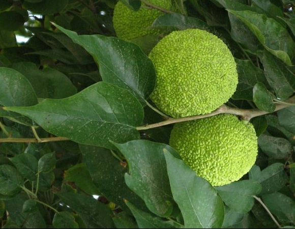 Osage Orange (maclura pomifera)  Various studies have found elemol, an extract of Osage orange, to repel several species of mosquitos, cockroaches, crickets, and ticks.