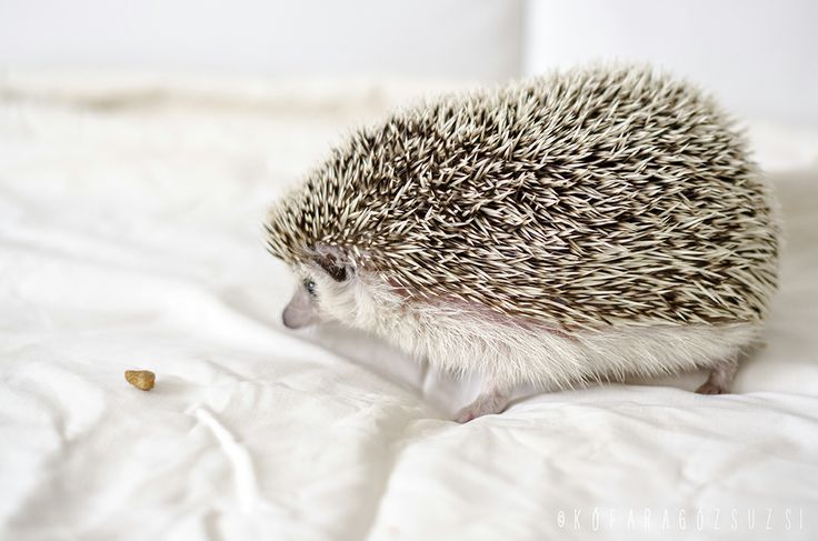 my hedgehog by kofaragozsuzsiphotos
