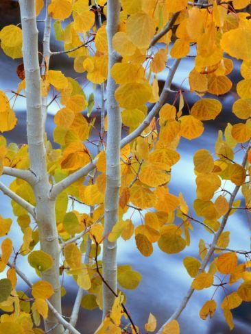 Autumn Leaves on Aspen Tree in the Sierra Nevada Range, Bishop, California, Usa