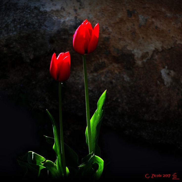 https://flic.kr/p/TuyjPA | Tulipani rossi | fujifilm x-s1