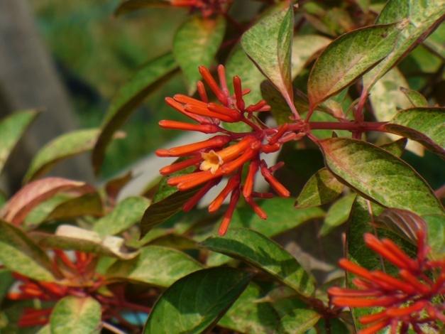 Garden Bush: Beyer's Variegated Mexican Fire Bush,Hamelia Patens 'Beyer
