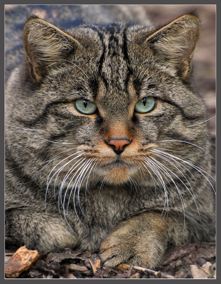 Wild cat, I presume Felis silvestris