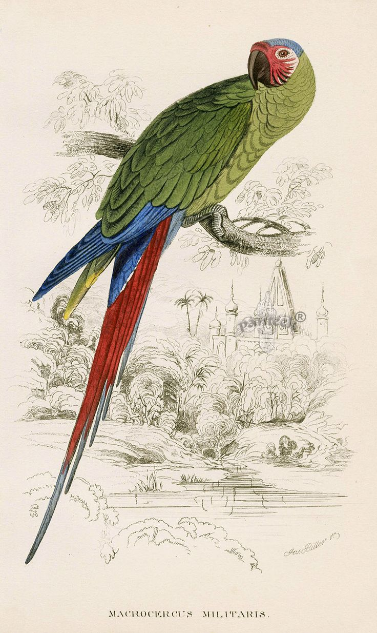 Macrocercus militaris, Edward Lear from Natural History of Parrots 1842