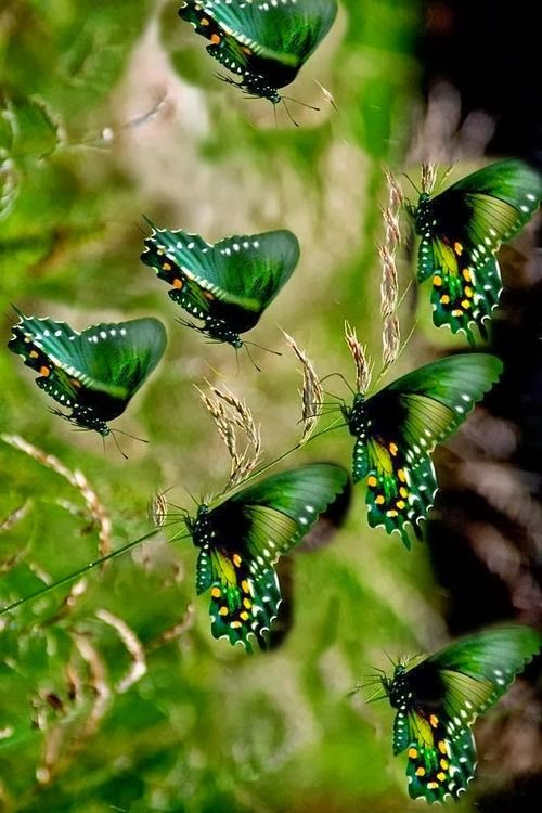 My mom would have loved these Green butterflies. Green was her favorite color. ♫ ♥ X ღɱɧღ ❤ ~ Sun 14th Dec 2014