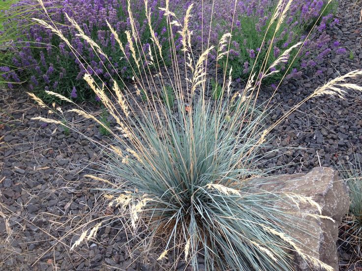 Ornamental grasses update your curb appeal with just one for Small blue ornamental grass