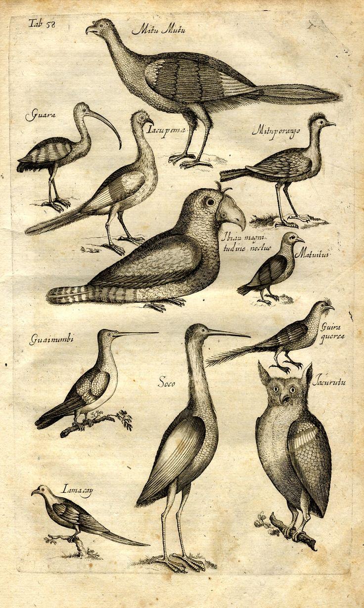 Jonston, Jan: Historiae Naturalis De Avibus Libri VI. - Frankfurt : Merian, 1650.