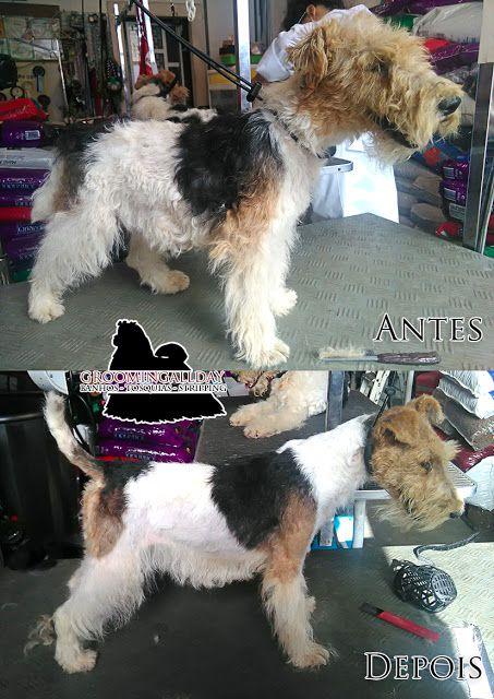 #GroomingAllDay:  Fox Terrier pêlo cerdoso. Animal que sempre fez o...
