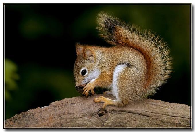 American Red Squirrel | ... > Bill Garber > Photos > Squirrels > North American Red Squirrel