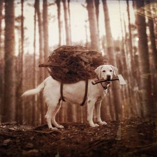 So sweet! Golden Retriever, dog, bringing home the Xmas tree.. haha. Cute, nuttet, sød, sweet, funny, humour, woods, forrest, vintage, sapira, photo, axe