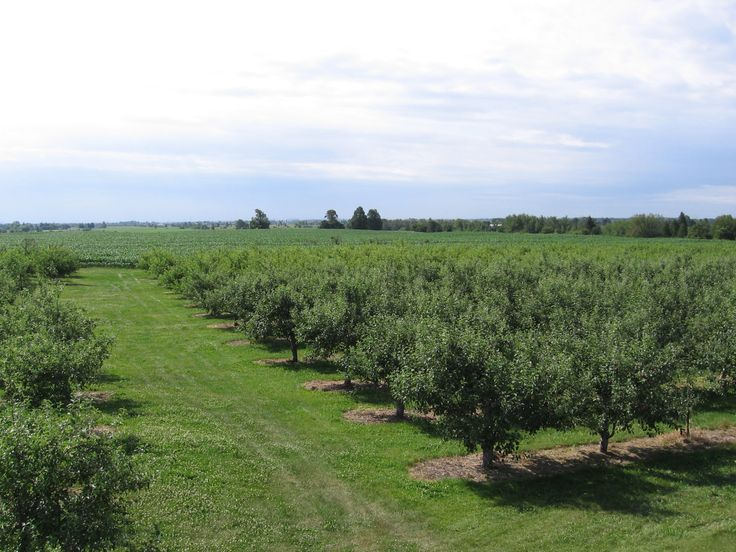 Blue Sky and Green Orchard
