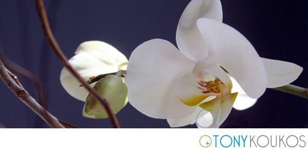 Orchid, flower, white, nature, Tony Koukos, Koukos