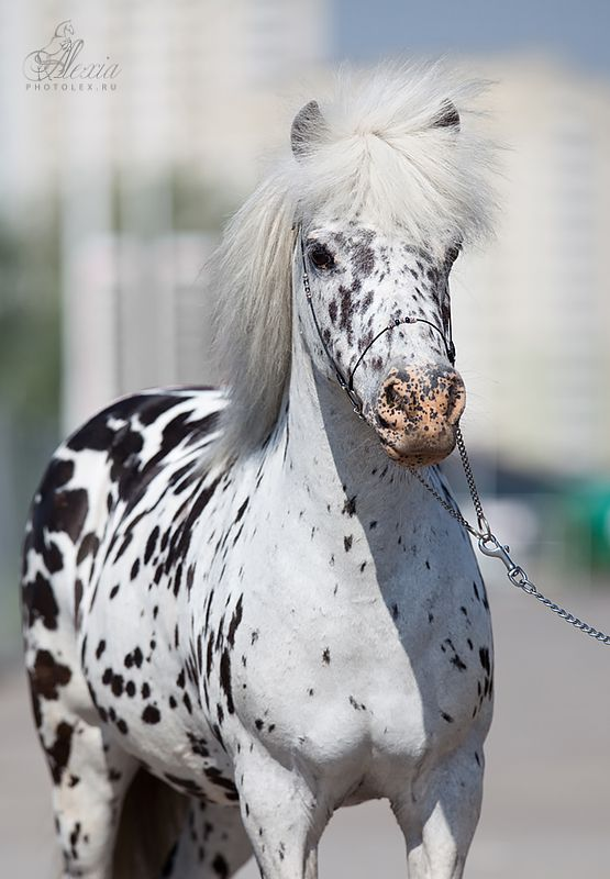 appaloosa miniature horse