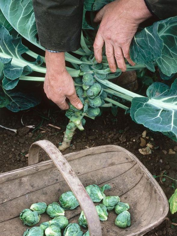 Growing Brussels Sprouts » I am going to try this year, I love brussels sprouts!