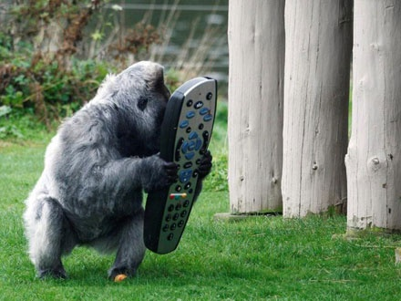 Project involving a large gorilla and an oversized Sky remote control at Longleat Park