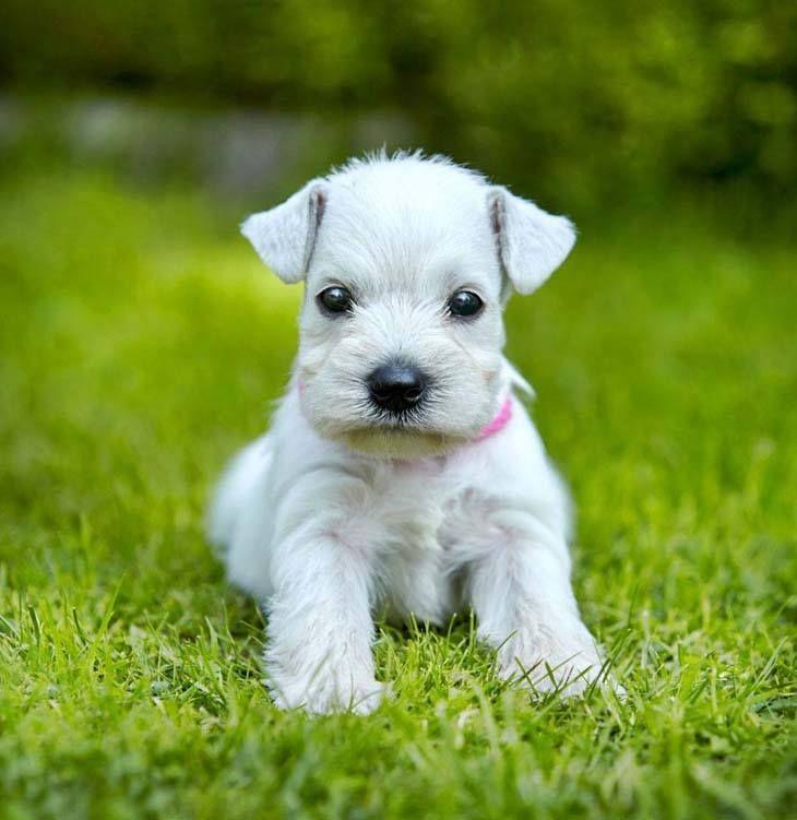 Best 25 White miniature schnauzer ideas on Pinterest  Mini