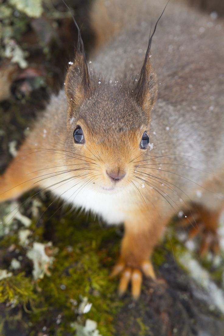 best 25 fox squirrel ideas on pinterest opposite of normal