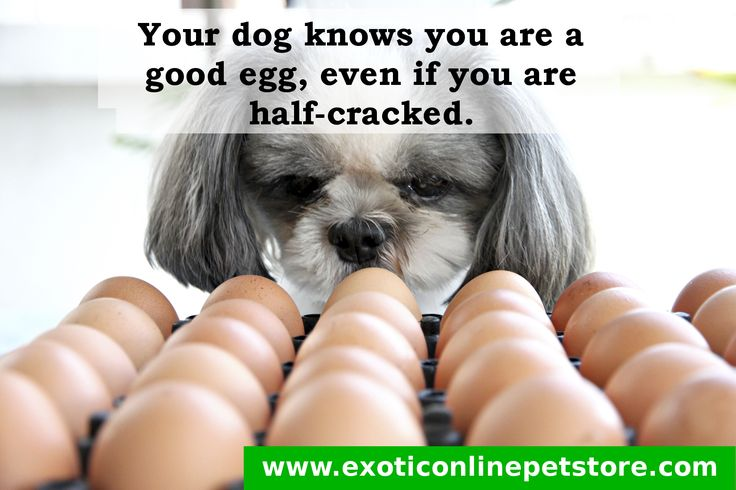 """Your dog knows you are a good egg, even if you are half-cracked."" #shitzu #eggs #dogs #doglove http://www.exoticonlinepetstore.com/"