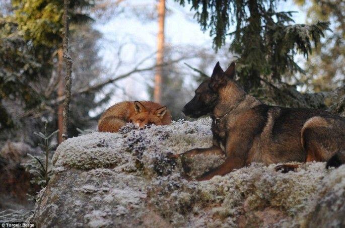 le chien et le renard jouent rox et rouky en vrai 2   Le chien et le renard ou Rox et Rouky pour de vrai   Torgeir Berge renard photo image ...