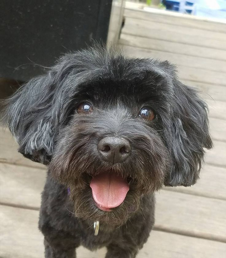 Adopt polly on petfinder poodle mix poodle mix dogs