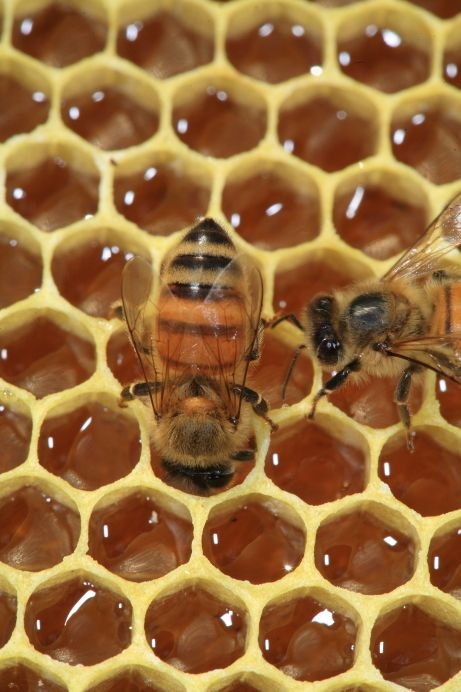 A bee gorges itself with honey on a wax frame with cells full of nectar