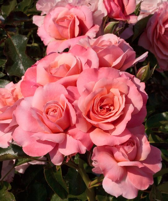 MEILLAND International   Rosiers de jardin   Fleurs groupees, Botticelli