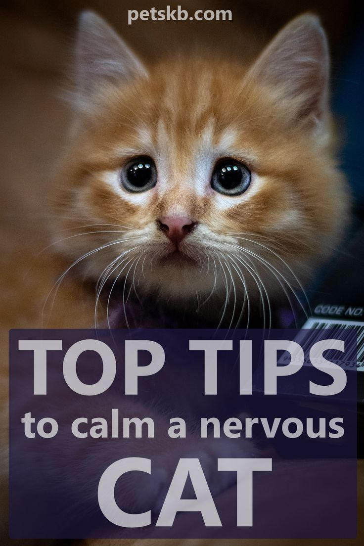 How To Calm a Nervous Cat • The Pets KB in 2020 Cats