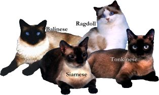 FL Siamese Kitten Balinese Breeder Florida Ragdolls Kittens for Sale