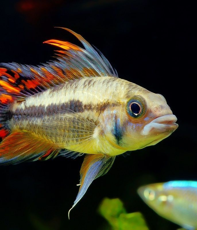 South American Cichlids 6 Colorful Species For Beginners Aquariadise South American Cichlids Cichlids American Cichlid