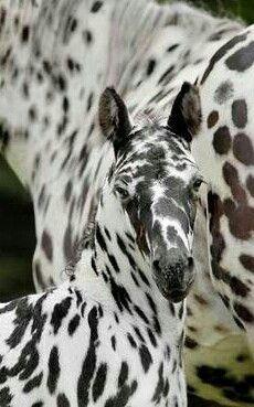 Leopard-spotted Appaloosa foal!