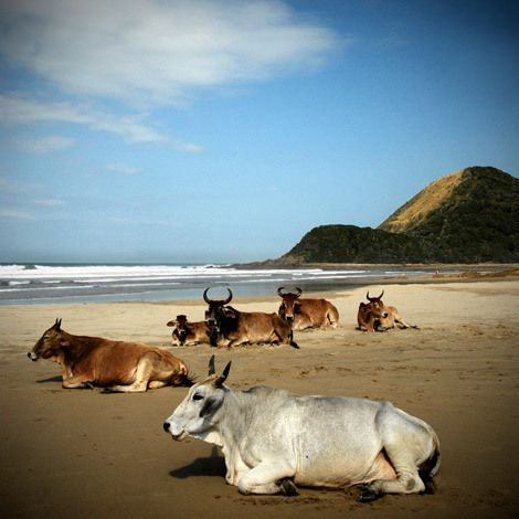 Cows on the Beach - Port St Johns - South Africa - photo by Jon Riordan
