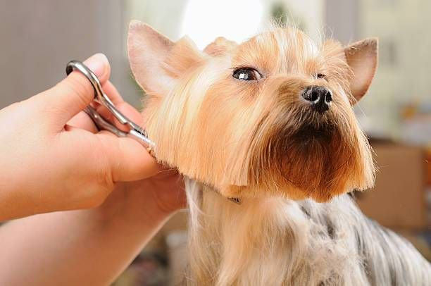 "The Yorkshire Terrier or ""Yorkie"" is the most popular pet in the U.S. of the toy dogs, and it's not Continue reading"