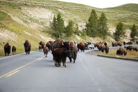 Yellowstone Park traffic Jam.