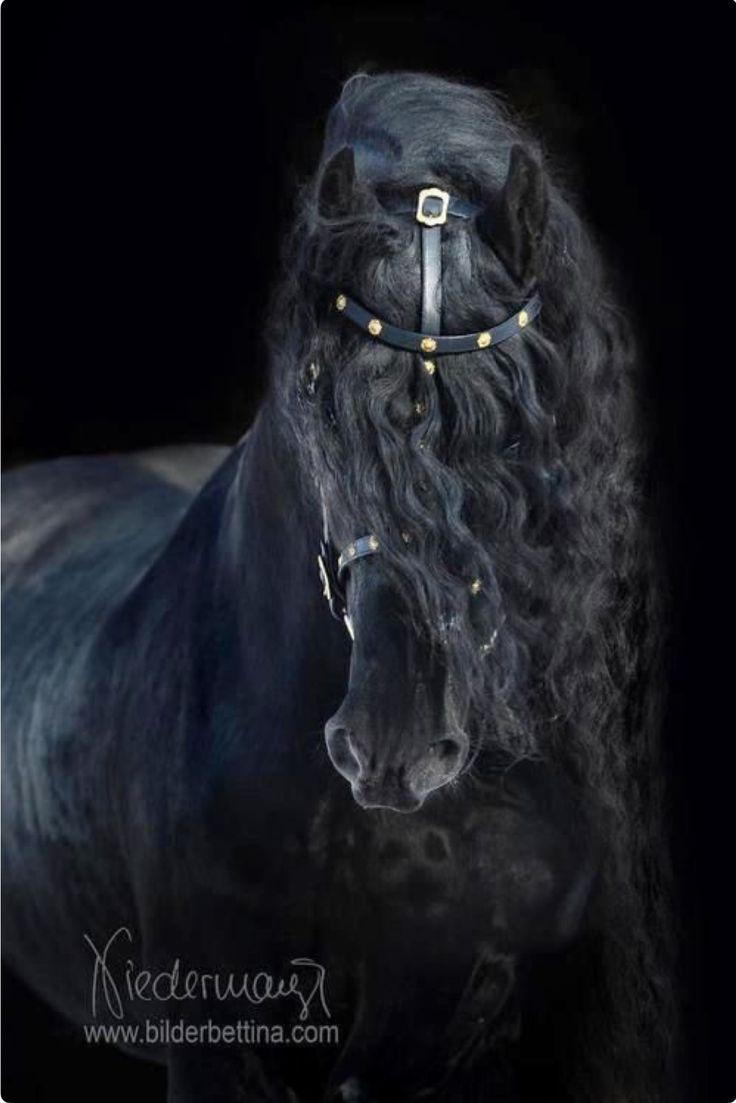 Hauptporträt eines majestätischen schwarzen friesischen Pferds. Wunderschönen.   – Die Schönheit der Pferde