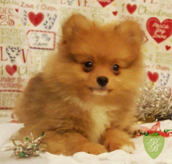 Puppies for Sale - California Pomeranian Breeders