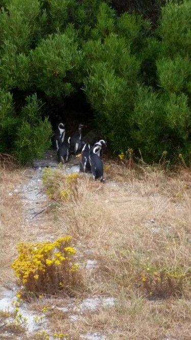 The pengiuns of Robben Island