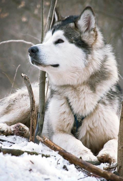 Beautiful Siberian Husky. This guy reminds me of my childhood husky - Sir Walter Stout of the Yukon (his registered name) - we called him Walter. I sure miss him.