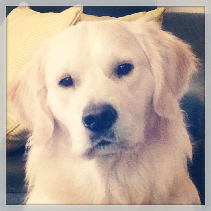 #golden #retriever #puppy at 11 months