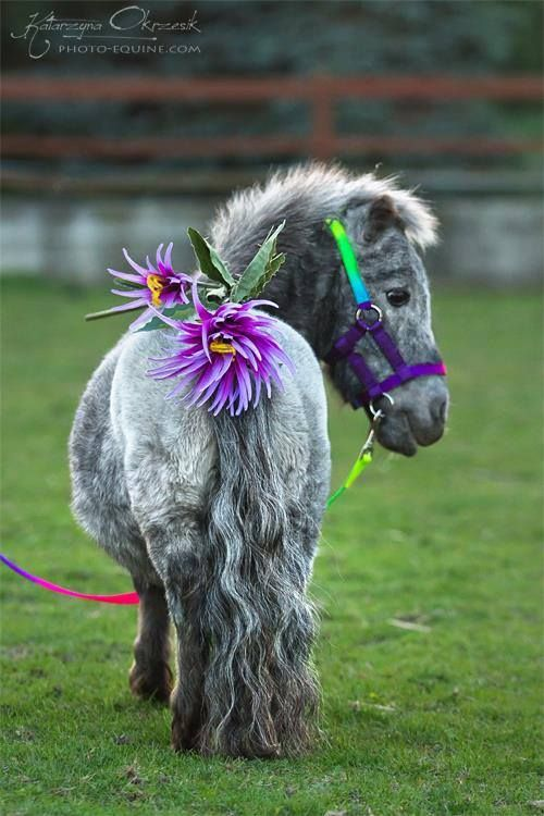 Cute Mini horse - titled 'Ciuciu in Flowers' by photographer Katarzyna Okrzesik  www.photo-equine.com  http://www.heartofahorse.org/