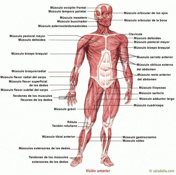 sistema muscular atlas - Buscar con Google