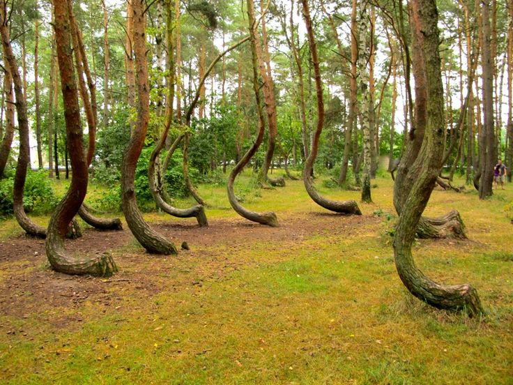 Best Lugares Inimagináveis Images On Pinterest A Natural - To this day the mystery of polands crooked forest remains unexplained