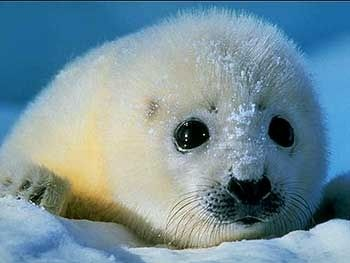 110 Baby Animals: too much cuteness! do not wear white seal coat!!!!!!!!!!!