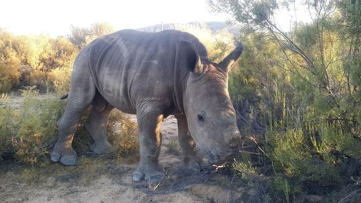 Les 25 meilleures id es de la cat gorie african rhino en for Divan grobler