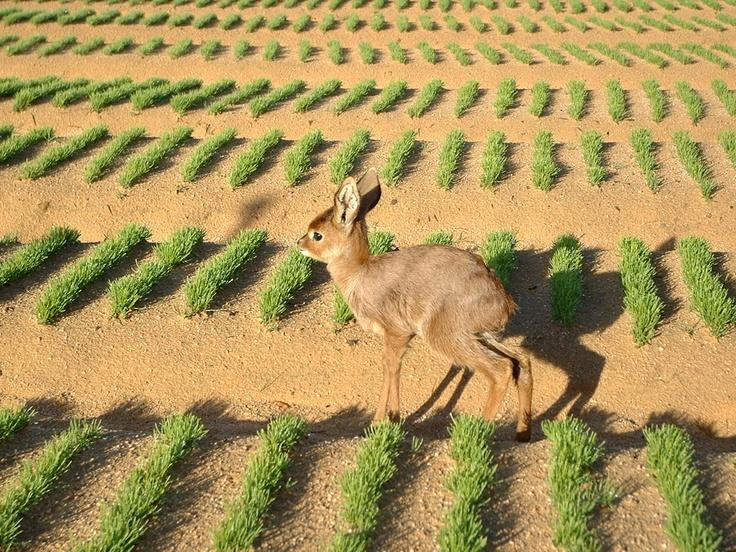 Young deer in the Rooibos nursery
