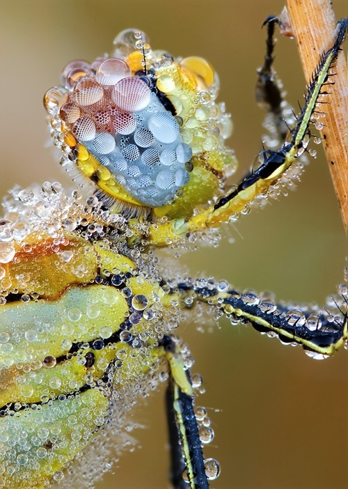Sleeping insects covered in dew...  I love the eye close ups ...cool pics