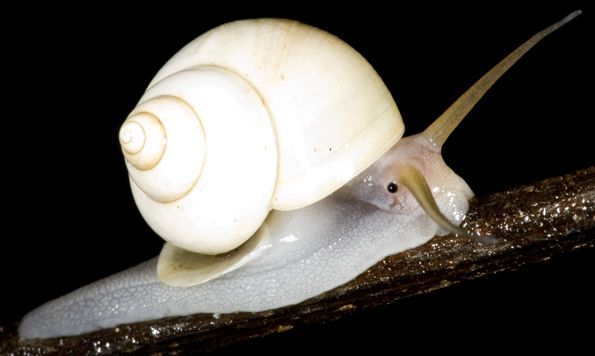 White Tree Snail Noctepuna Cerea Cargols Land Snails