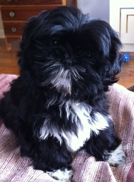 Shih Tzu Puppy looks just like Duke!